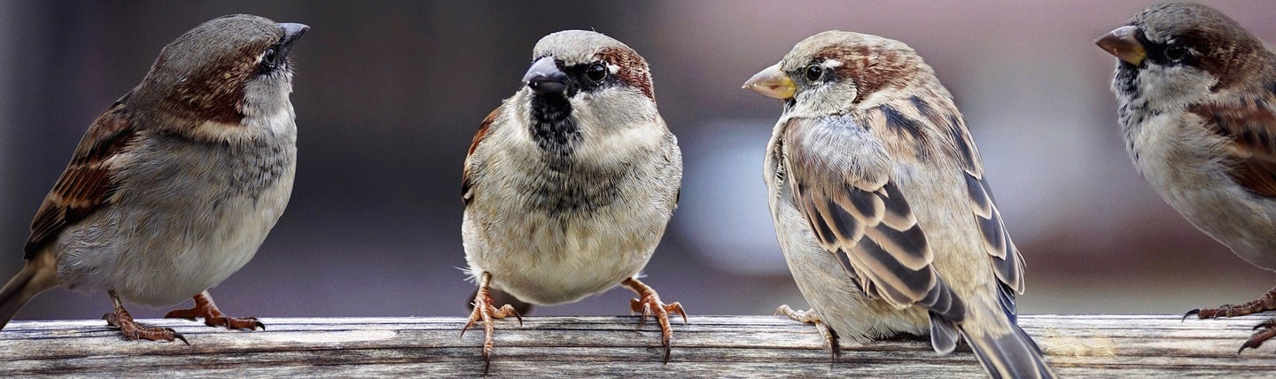 The sparrows seem to be shrinking