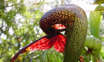 Giant Carnivorous Plant Found In Silicon Valley