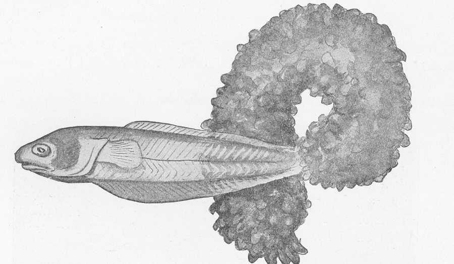 pearlfish and a sea cucumber