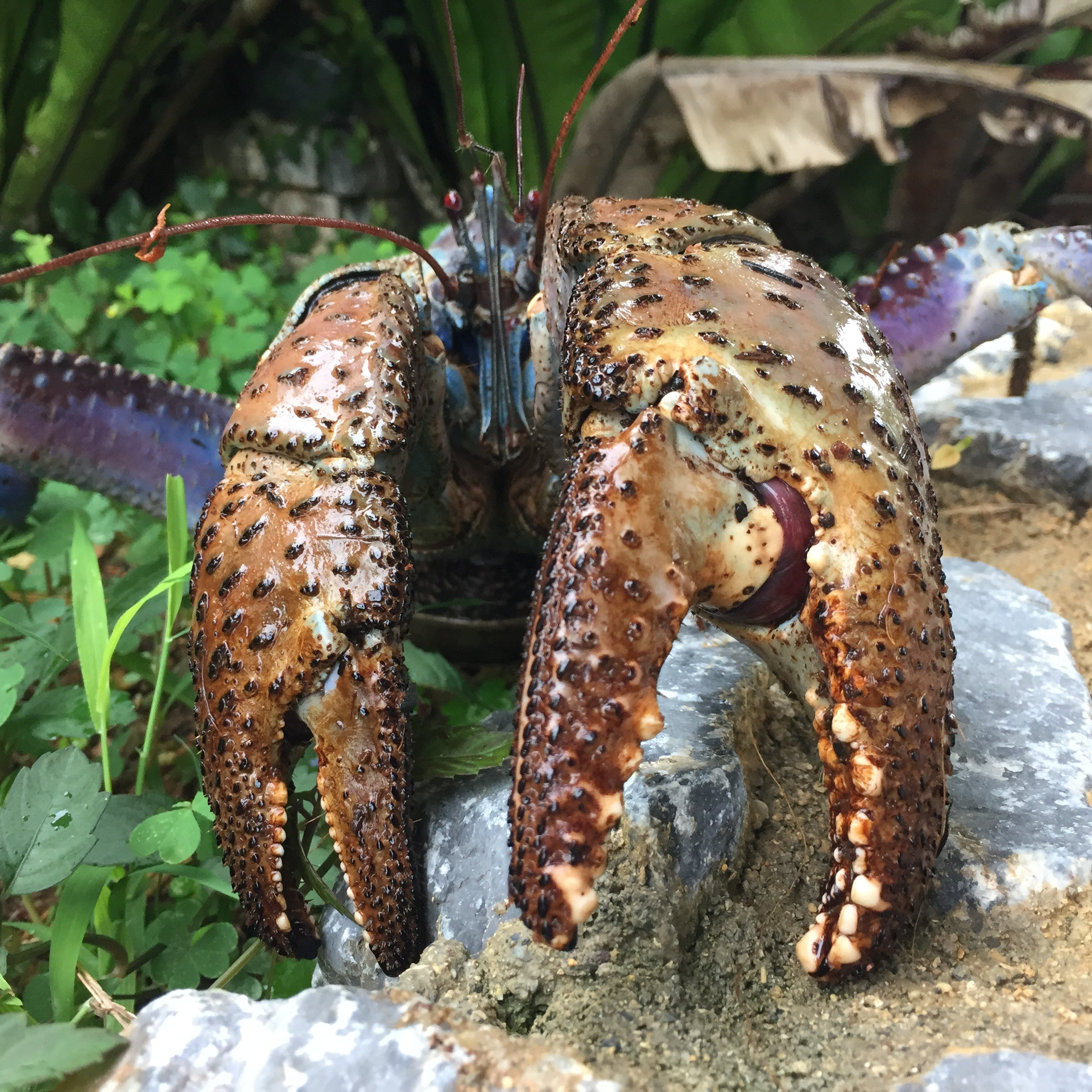 Coconut crab claws are insanely strong