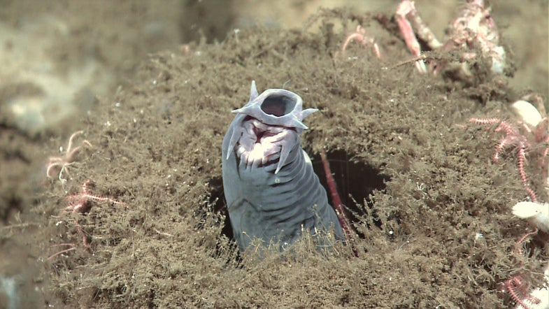 The world's fastest shark is no match for a sack of flaccid hagfish skin
