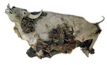 Scientists Necropsy Near-Complete Bison Mummy