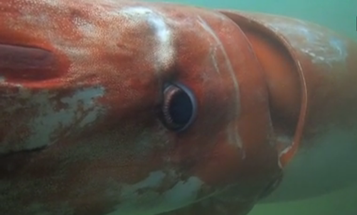 Giant Squid Surfaces From The Deep In Japanese Harbor