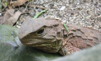 Dino-aged Reptile Makes a Comeback