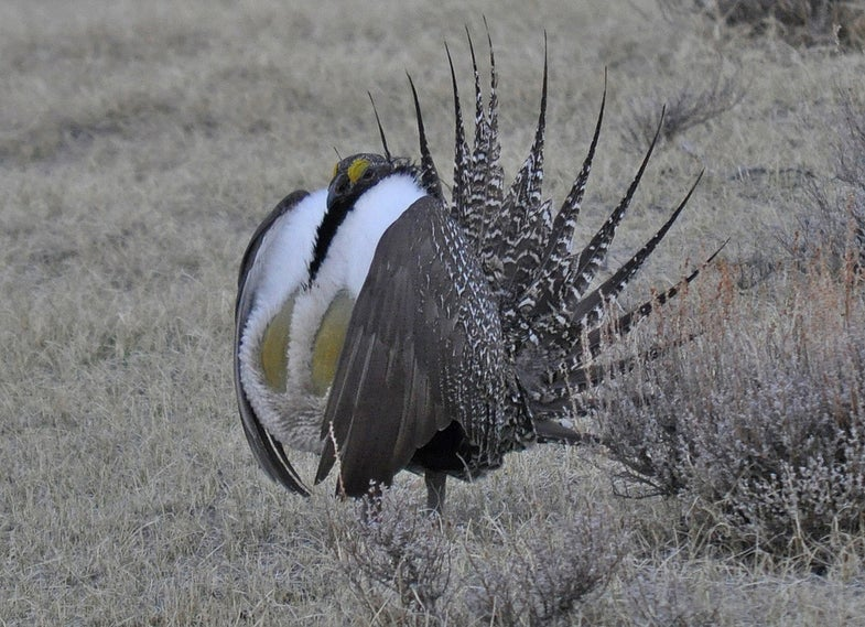 The Greater Sage-Grouse Is Bouncing Back