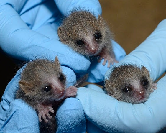 Baby gray mouse lemurs