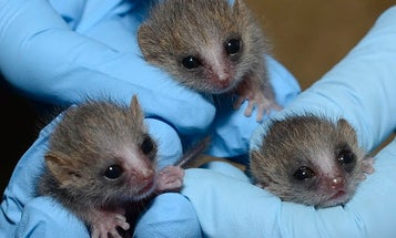 Look At These Adorable Newborn Lemur Triplets