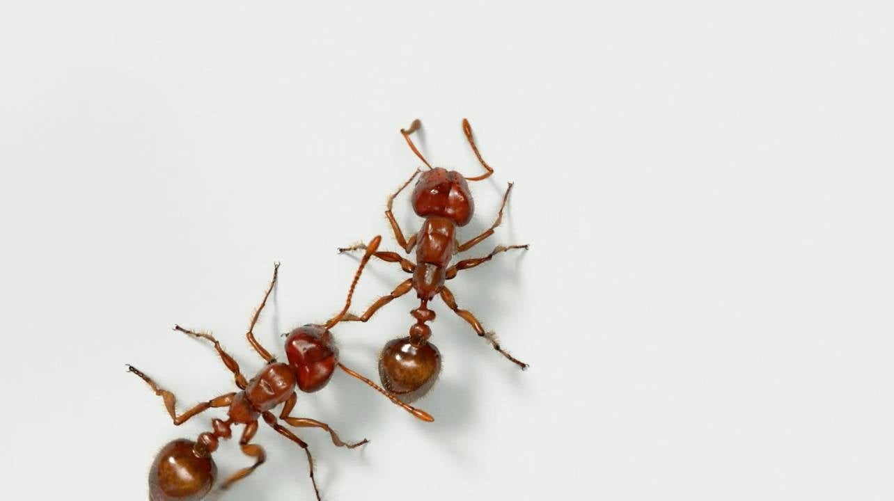 in an illustration, two fire ants crawl across a white surface