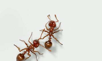 A Tiny Fire Ant's Sting Causes Serious Misery. Here's How [Video]
