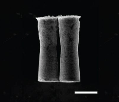 Bubble-Propelled Microbots Zoom Around Inside Live Mice