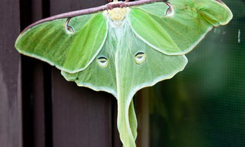 Long Tails May Save Luna Moths From Hungry Bats [Video]