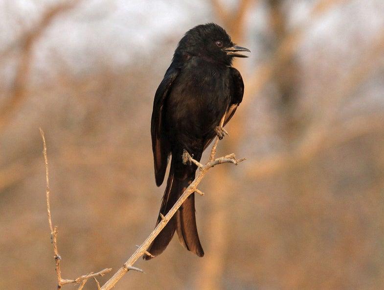 This Deceptive Bird Imitates Animal Calls To Steal Food