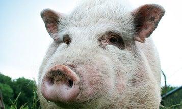The Science of Swine