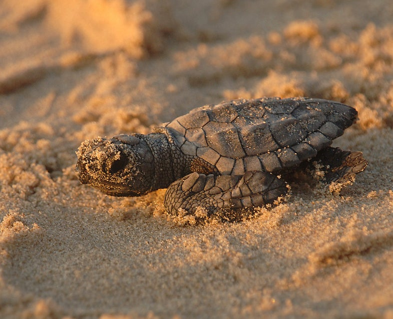 Turtle hatchling close-up, Texas