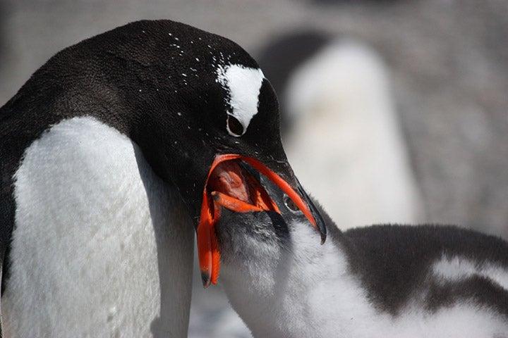 Adult gentoo penguin feeds its chick