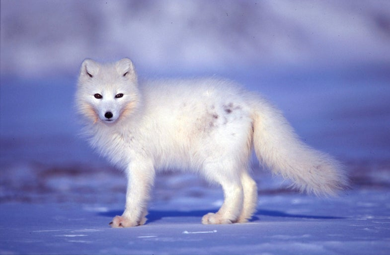 How Extreme Weather Links The Fates Of Four Adorable Arctic Species