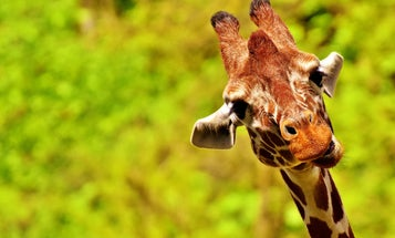 We just found the king of all extinct giraffe cousins, and it's very goofy looking