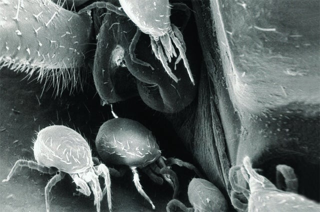 Mites Keep Cockroaches Mold-Free