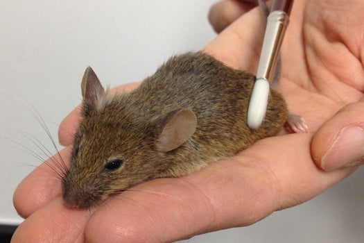 Petting Mice Reveals Chemical Reason Why Massage Feels Good