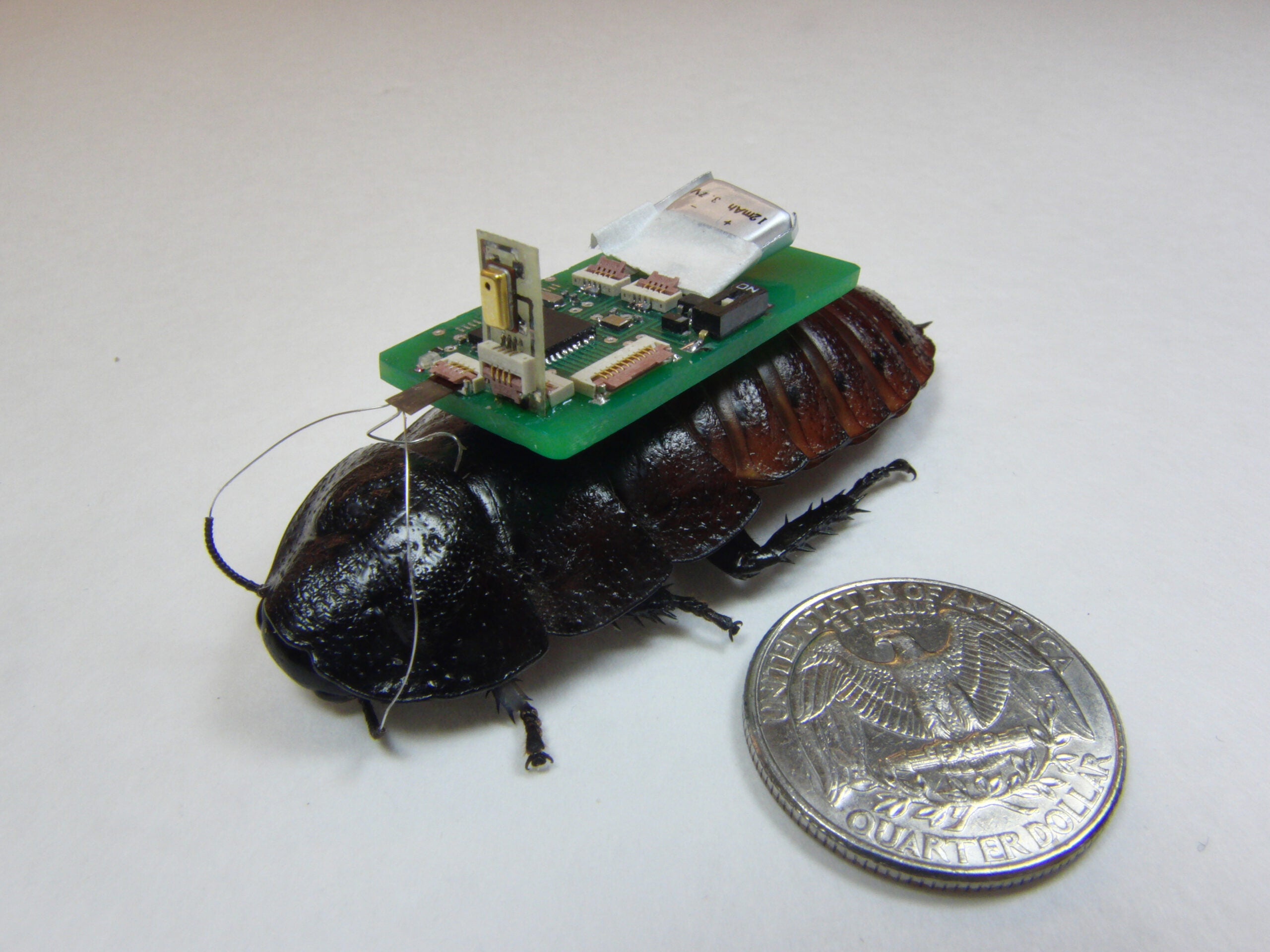 Cyborg Roaches Could Help In Disasters