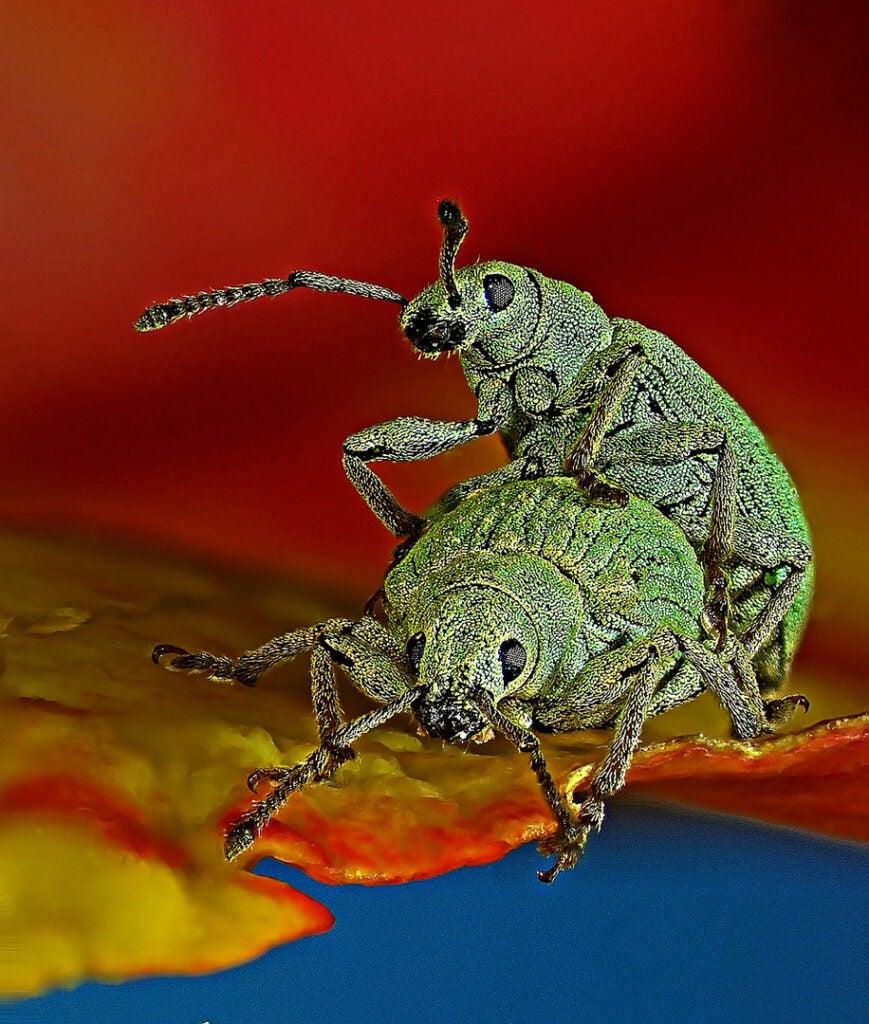 Weevil sex