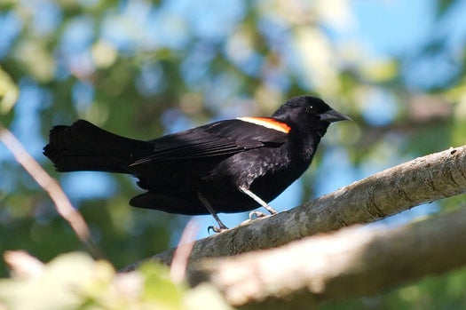 What Cataclysm Killed the Birds in Arkansas (and Louisiana, and Sweden)? Maybe None