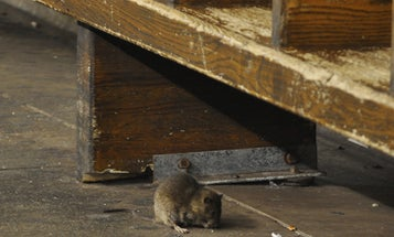 NYC Wants To Sterilize Its Subway Rats