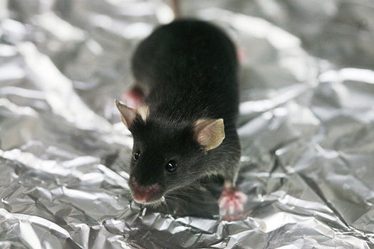 Scientists Engineer Mice That Can't Feel The Cold