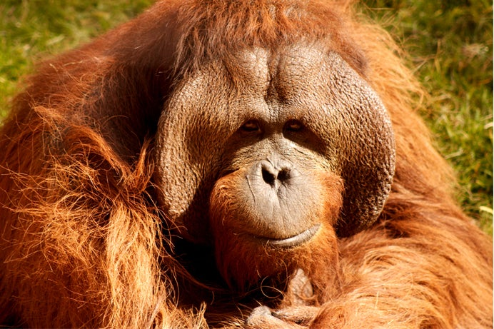 Orangutans Announce Their Travel Plans A Day In Advance