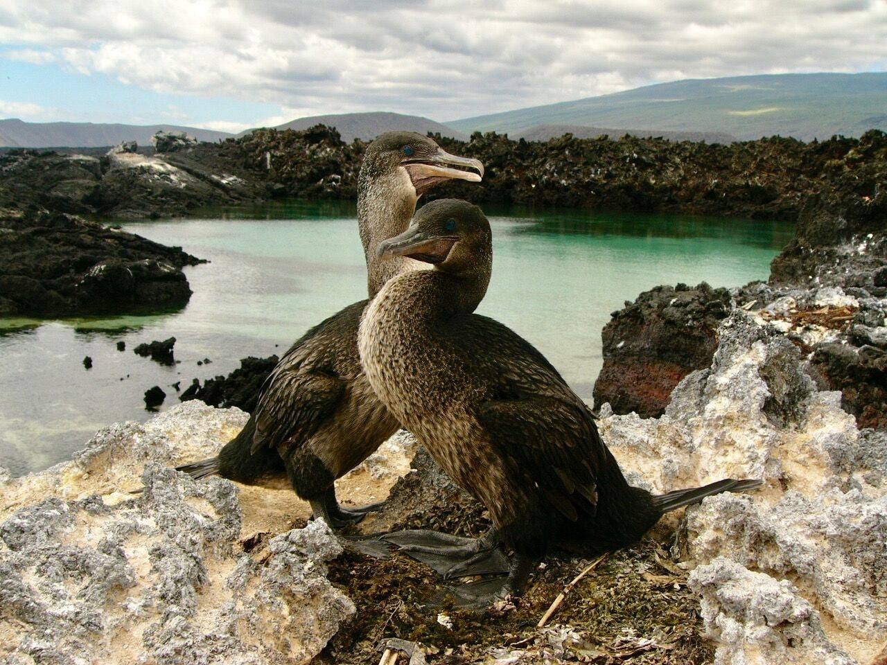 How the Galapagos cormorant forgot how to fly