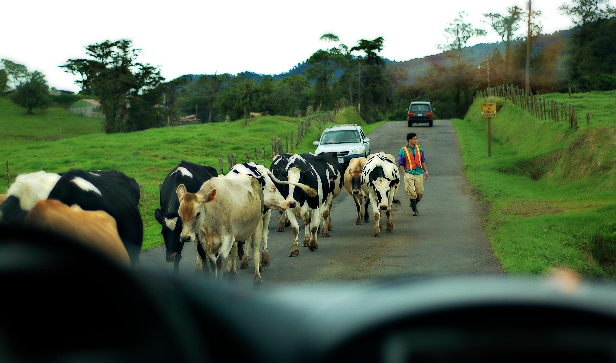 Cow Traffic