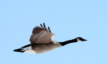 Is There Really No Way to Keep a Goose Out of a Jet Engine?