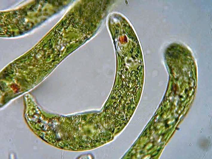 A Protozoan Prospect For Nutritional Supplementation