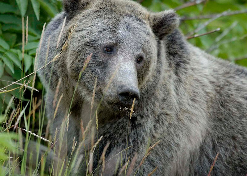 Grizzly Bears Could Offer Clue To Weight Loss