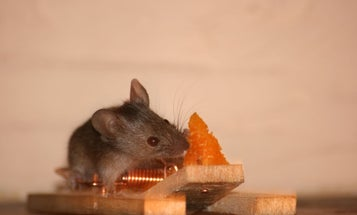 Do Mice Really Adore Cheese?