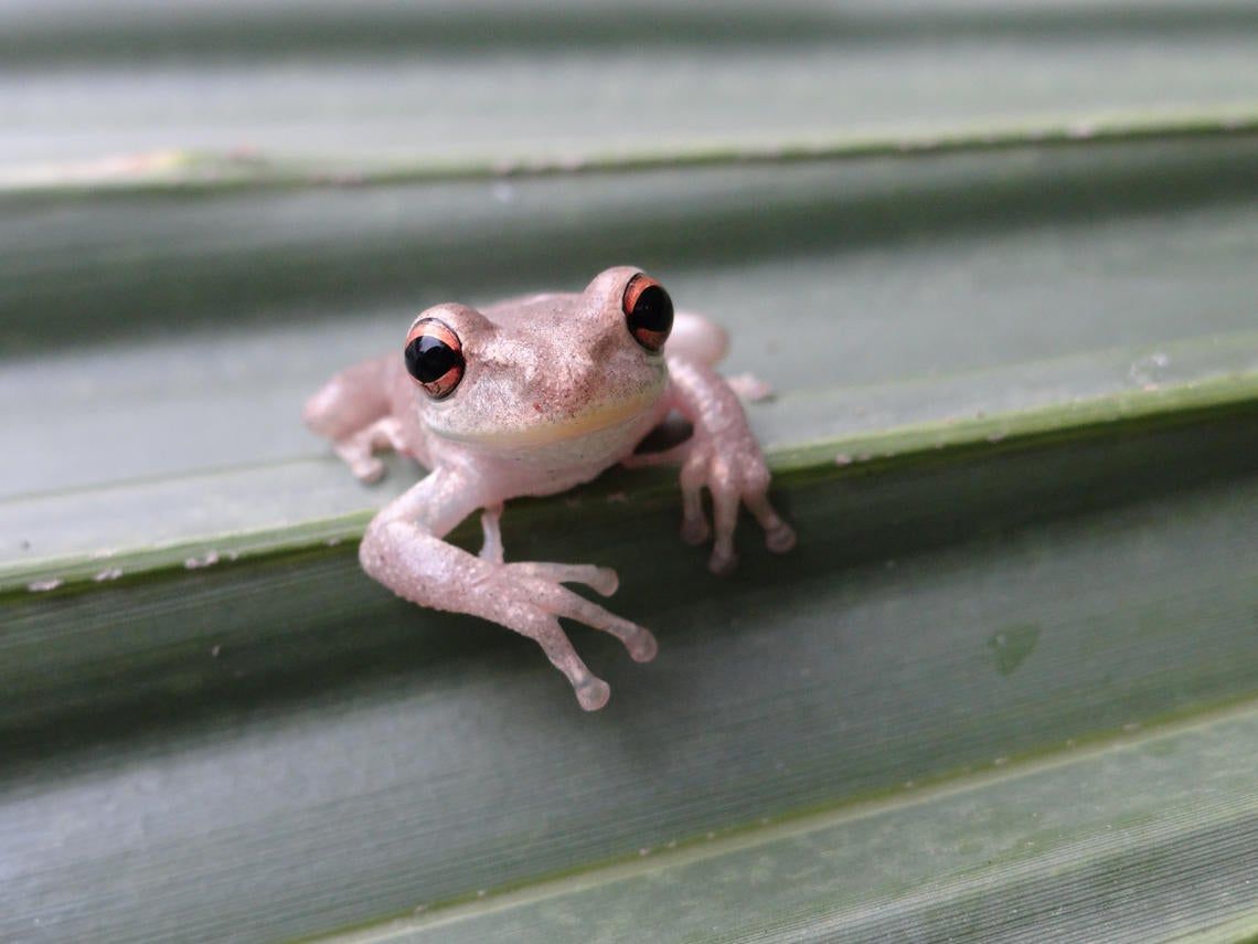 Invasive treefrogs have snuck into Louisiana and they are not good neighbors