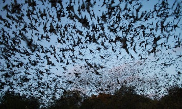 Bacteria Appears To Help Bats Fight Deadly White-Nose Syndrome