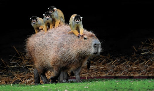 Megapixels: Monkeys Take A Ride On The World's Largest Rodent