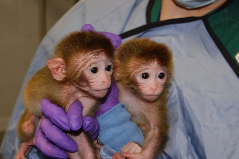 Monkey Embryo Mashup Results In First Primate Chimeras