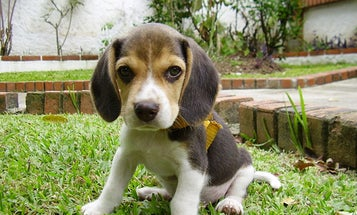 Gene Therapy Cures Diabetic Dogs In Only One Shot