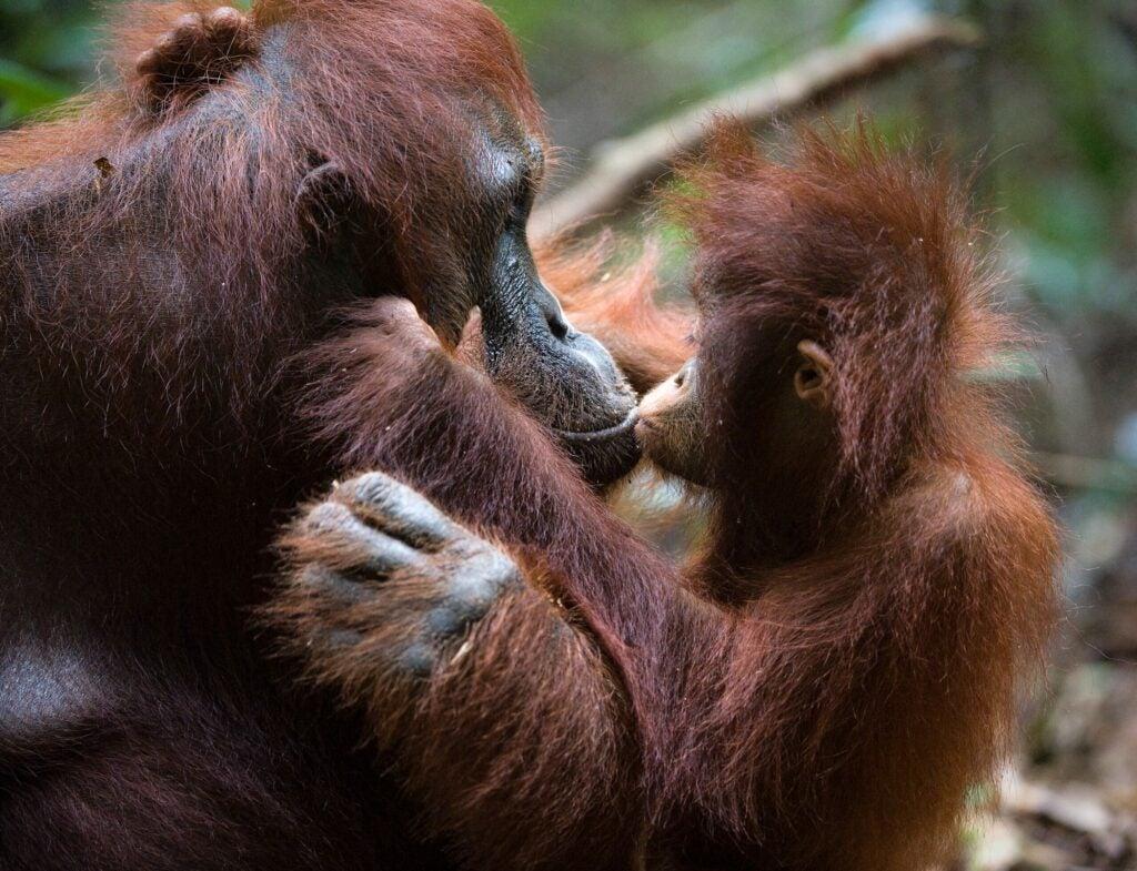 orangutan baby kissing its mother