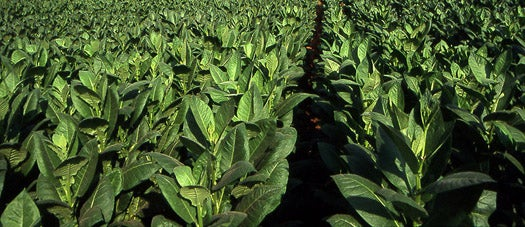Engineered Tobacco Plants Grow Synthetic Solar Cells