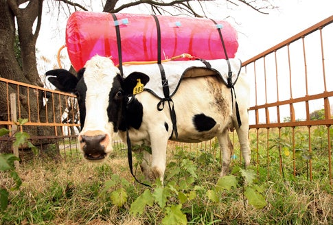 Winged Robots Will Live In Cows' Stomachs To Monitor Their Methane Burps