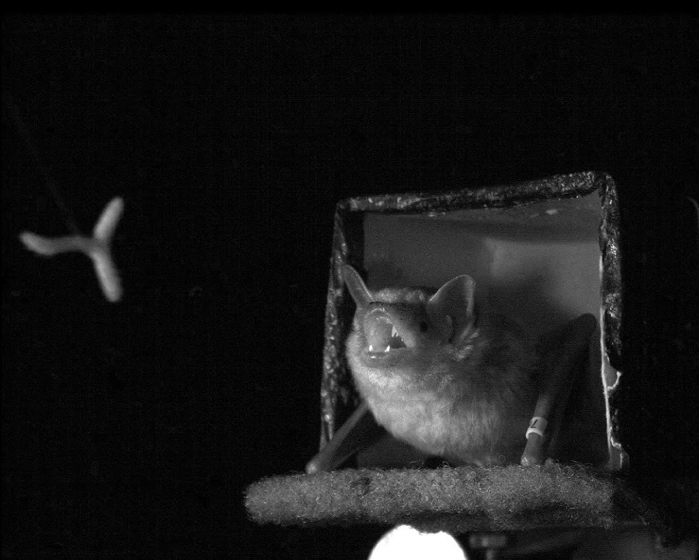 To Track A Meal, Bats Waggle Their Heads And Ears
