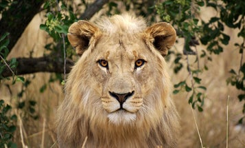 African Lions Are Now Considered An Endangered Species