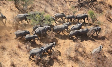 First Africa-Wide Elephant Census Shows Dropping Populations