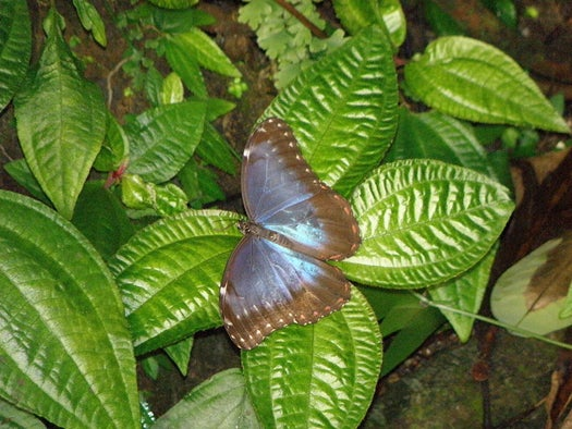 DARPA and GE Look to Butterfly Wings for Better Chemical Sensors