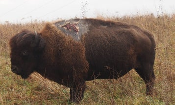 Bison Struck By Lightning Is Doing Fine, Looks Like A Zombie