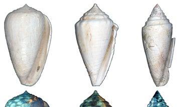 Black Light Shows The True Colors Of Ancient Seashells