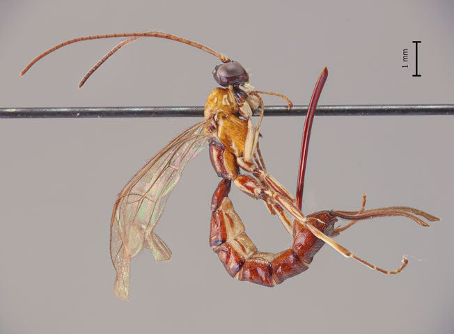 This newly-discovered wasp has a horrifying stinger—but what it uses it for is even worse